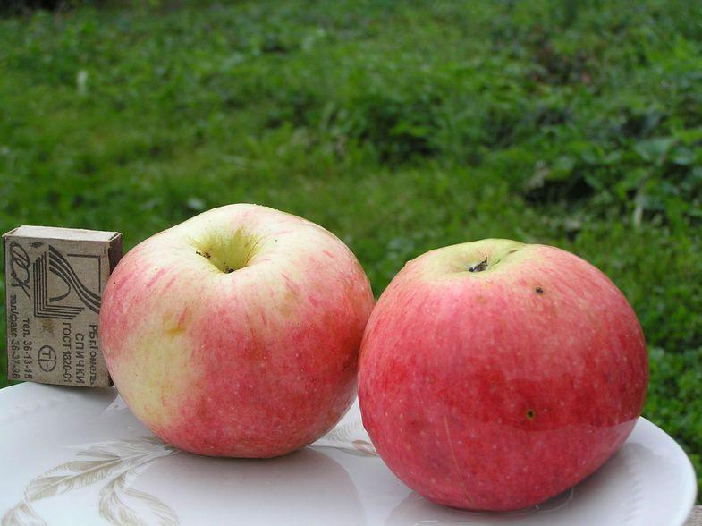 Сорта яблок и зимние сорта яблок | - primenimudrost ru
