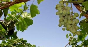 vinograd_krasivo