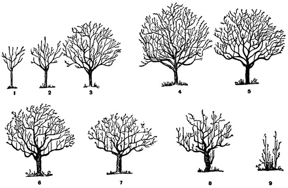 Рост плодового дерева