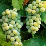 алиготе сорт винограда