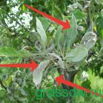 Мучнистая роса. В отдельные годы приносит вред яблоне в молодых садах.
