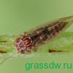 Грушевая медяница