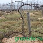 Кордоны винограда могут быть сформированы и в два яруса