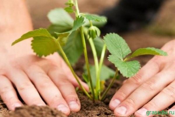 Крыжовник и смородину можно высаживать в междурядьях и в рядах молодого сада