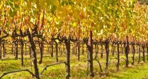 Обрезка виноградных кустов