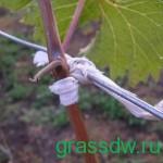 Подвязка зеленых побегов производится по мере их роста
