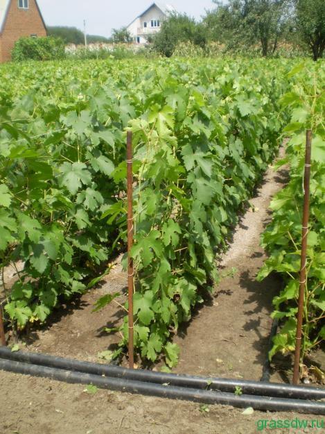 квадратно-гнездовая посадка винограда