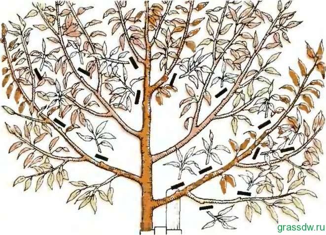 обрезка деревьев загущения