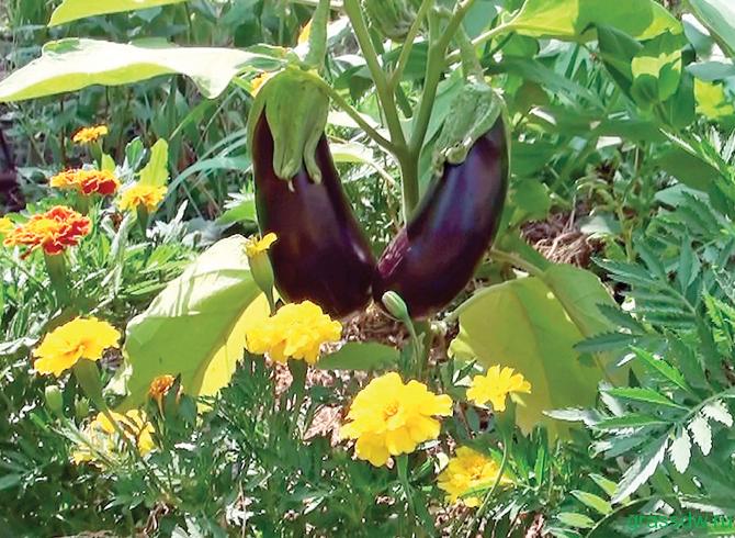 Овощи и цветы на одной клумбе