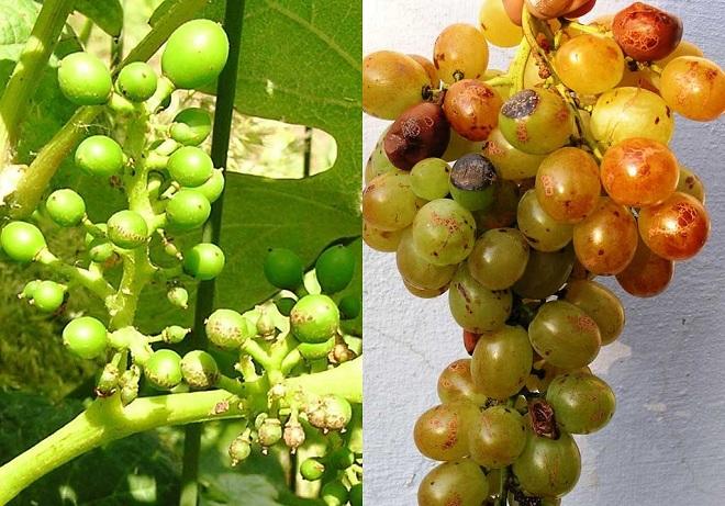 Чем может болеть виноград