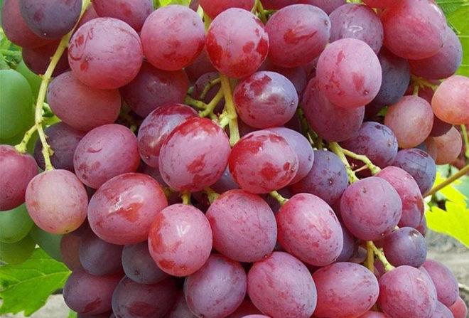 Характерные особенности винограда