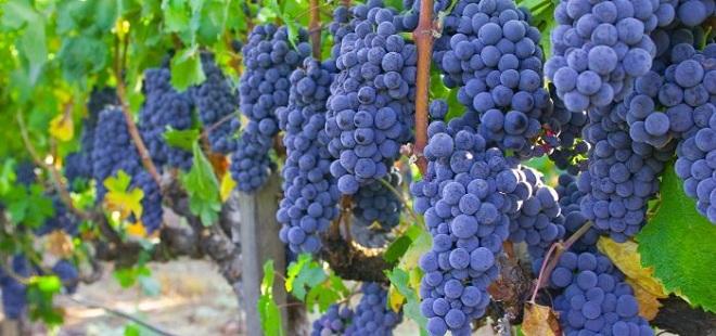 Достоинства винограда Изабелла