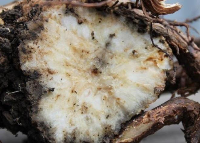 Разлом ветки винограда с признаками поражения растения бактериальным раком