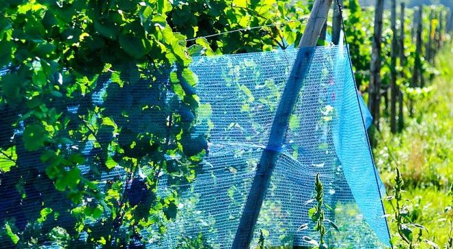 защитить виноград от птиц